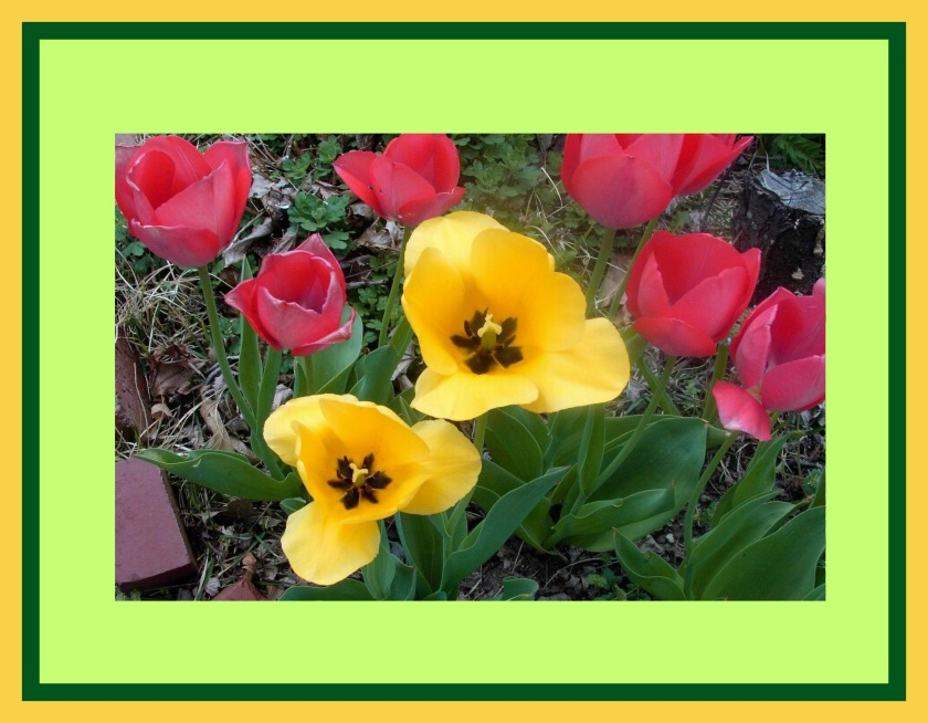 TWO TULIPS OPENED WITH MATTING